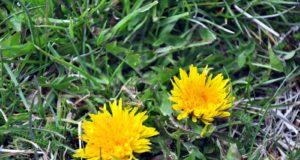 Insieme alla Dott.ssa Luisa Pedrelli scopriamo i benefici dei fiori della cicoria (Chicory).